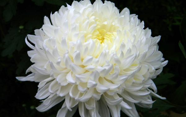 Сохранить срезанную хризантему